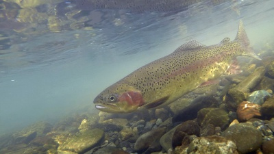 State of the Salmonids: Status of California's Emblematic