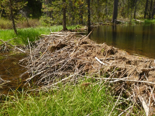 Natural beaver dam on Childs Meadow
