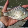 Tule Perch caught in Suisun Marsh, 2008/UC Davis